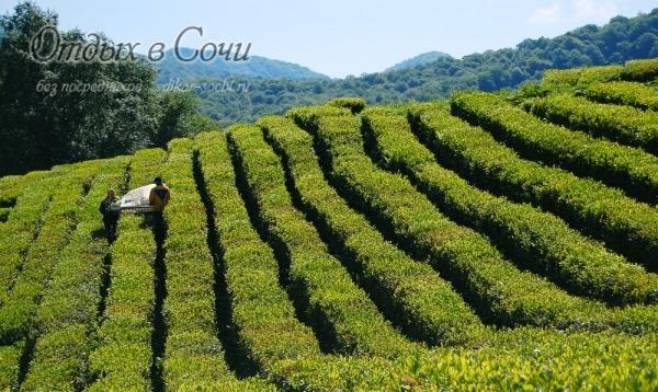 Свежий горный воздух, тёплое южное солнце и умелые человеческие руки - всё что нужно для вкусного и ароматного чая!